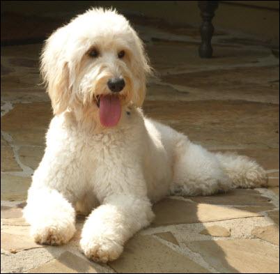 Goldendoodle Service Dog Atlanta